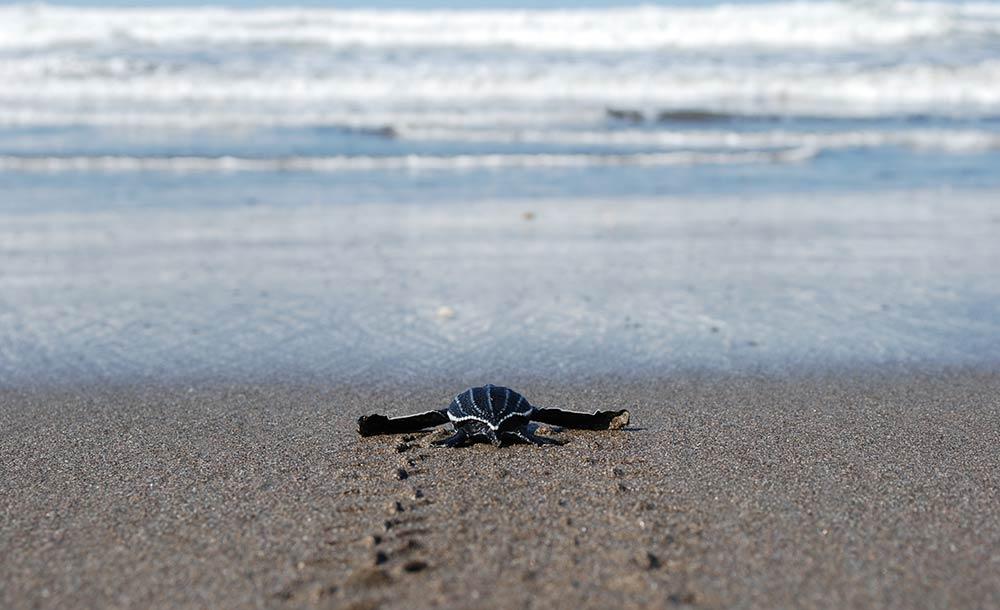 Baby Turtle Sea